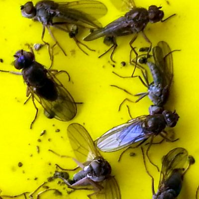Fly trap Cyprus