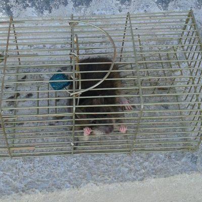 Rat Cyprus