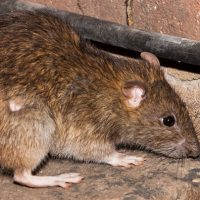 Cyprus Brown Rat