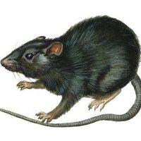Cyprus Rat
